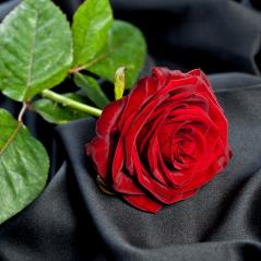 red rose on black silk- Stock Photo or Stock Video of rcfotostock | RC-Photo-Stock