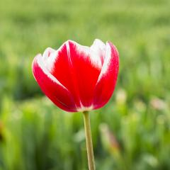 Red Tulip Bud in a field- Stock Photo or Stock Video of rcfotostock | RC-Photo-Stock
