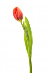 red tulip flower : Stock Photo or Stock Video Download rcfotostock photos, images and assets rcfotostock | RC-Photo-Stock.: