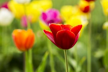 Red Tulip flower in a field- Stock Photo or Stock Video of rcfotostock | RC-Photo-Stock