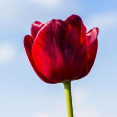 Red Tulip on blue sky : Stock Photo or Stock Video Download rcfotostock photos, images and assets rcfotostock | RC-Photo-Stock.: