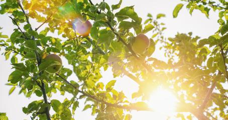 Ripe apples on the tree- Stock Photo or Stock Video of rcfotostock | RC-Photo-Stock