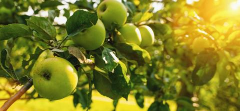 Ripe green apples on the tree, copyspace for your individual text.- Stock Photo or Stock Video of rcfotostock | RC-Photo-Stock