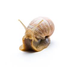 Roman snail : Stock Photo or Stock Video Download rcfotostock photos, images and assets rcfotostock | RC-Photo-Stock.: