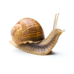 roman snail looks up : Stock Photo or Stock Video Download rcfotostock photos, images and assets rcfotostock | RC-Photo-Stock.: