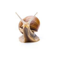 roman snail on white- Stock Photo or Stock Video of rcfotostock | RC-Photo-Stock