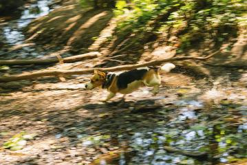 running Beagle dog in the forest- Stock Photo or Stock Video of rcfotostock | RC-Photo-Stock