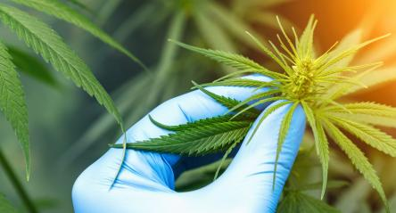scientist with gloves checking hemp plants in a greenhouse. Concept of herbal alternative medicine, CBD oil, pharmaceptical industry- Stock Photo or Stock Video of rcfotostock | RC-Photo-Stock