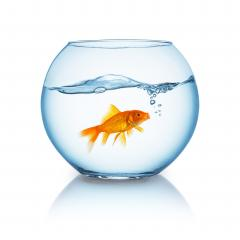screaming goldfish in a bowl- Stock Photo or Stock Video of rcfotostock | RC-Photo-Stock