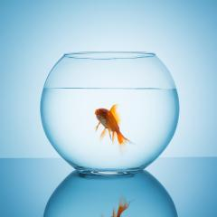 screaming goldfish in a fishbowl : Stock Photo or Stock Video Download rcfotostock photos, images and assets rcfotostock | RC-Photo-Stock.: