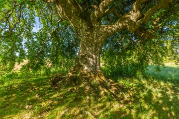 shadow under a old Dwarf Beech - Stock Photo or Stock Video of rcfotostock | RC-Photo-Stock