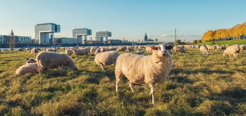 sheeps at the poller Meadow in cologne at the rhine shore, germany : Stock Photo or Stock Video Download rcfotostock photos, images and assets rcfotostock | RC-Photo-Stock.: