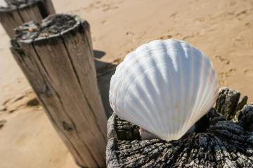 Shell on beach groyne at the North Sea- Stock Photo or Stock Video of rcfotostock | RC-Photo-Stock