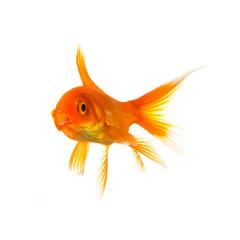 shocked goldfish : Stock Photo or Stock Video Download rcfotostock photos, images and assets rcfotostock | RC-Photo-Stock.: