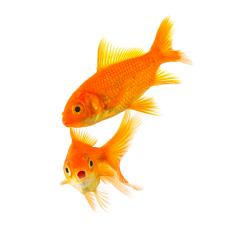 shocked goldfish couple  : Stock Photo or Stock Video Download rcfotostock photos, images and assets rcfotostock | RC-Photo-Stock.: