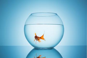 shocked goldfish in a fishbowl : Stock Photo or Stock Video Download rcfotostock photos, images and assets rcfotostock | RC-Photo-Stock.: