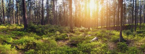 Silent Forest at sunrise with beautiful bright sunlight panroama- Stock Photo or Stock Video of rcfotostock | RC-Photo-Stock