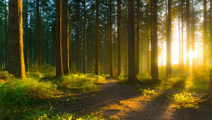 Silent Forest in spring with beautiful bright sun rays- Stock Photo or Stock Video of rcfotostock   RC-Photo-Stock