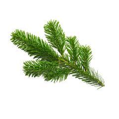 single fir branche- Stock Photo or Stock Video of rcfotostock   RC-Photo-Stock