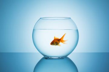 single goldfish in a fishbowl- Stock Photo or Stock Video of rcfotostock | RC-Photo-Stock