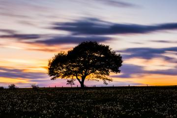 single oak tree on a dandelion meadow hill with colorfull  sunset  and cloudy Sky in spring : Stock Photo or Stock Video Download rcfotostock photos, images and assets rcfotostock | RC-Photo-Stock.:
