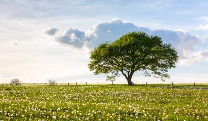 single oak tree on a hill  with dandelion meadow and Blue cloudy Sky at spring in the Eifel : Stock Photo or Stock Video Download rcfotostock photos, images and assets rcfotostock | RC-Photo-Stock.: