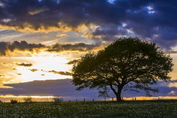 single oak tree on meadow at sunset with cloudy Sky in the Eifel national park : Stock Photo or Stock Video Download rcfotostock photos, images and assets rcfotostock | RC-Photo-Stock.: