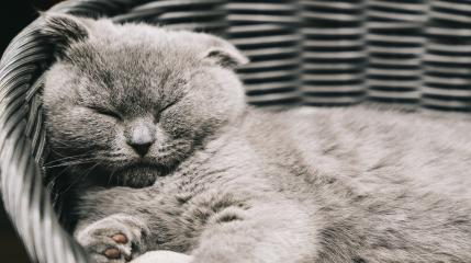 Sleepy kitten lying on a asket. Scottish Fold Shorthair with blue gray fur, with copyspace for your individual text.- Stock Photo or Stock Video of rcfotostock | RC-Photo-Stock