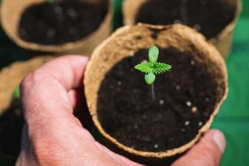 small plant of cannabis seedlings at the stage of vegetation in a pot holding by hand, eceptions of cultivation in an indoor marijuana for medical purposes- Stock Photo or Stock Video of rcfotostock | RC-Photo-Stock
