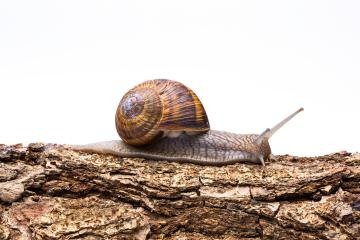 snail crawl on a tree trunk : Stock Photo or Stock Video Download rcfotostock photos, images and assets rcfotostock | RC-Photo-Stock.: