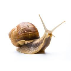 Snail creep Greasy- Stock Photo or Stock Video of rcfotostock | RC-Photo-Stock