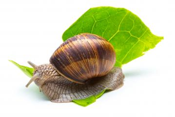 snail eats a lettuce leaf- Stock Photo or Stock Video of rcfotostock | RC-Photo-Stock