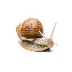 snail (Helix aspersa) : Stock Photo or Stock Video Download rcfotostock photos, images and assets rcfotostock | RC-Photo-Stock.: