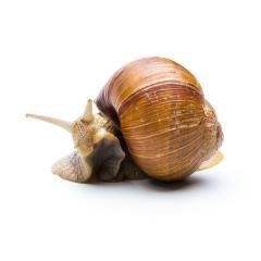 snail hiding in snail shell- Stock Photo or Stock Video of rcfotostock | RC-Photo-Stock