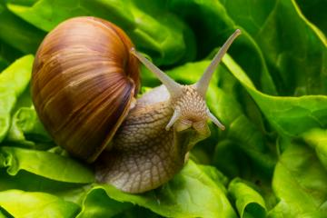 Snail in salad : Stock Photo or Stock Video Download rcfotostock photos, images and assets rcfotostock | RC-Photo-Stock.: