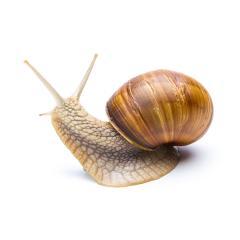snail looks back- Stock Photo or Stock Video of rcfotostock | RC-Photo-Stock