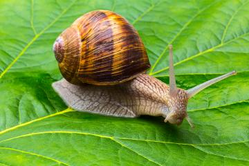 snail on a leaf- Stock Photo or Stock Video of rcfotostock | RC-Photo-Stock