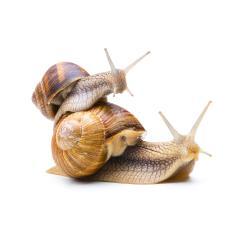 snail piggyback : Stock Photo or Stock Video Download rcfotostock photos, images and assets rcfotostock | RC-Photo-Stock.: