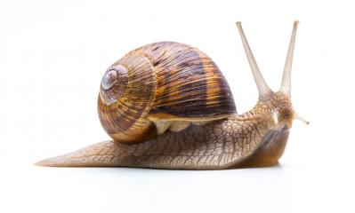 Snail with shell : Stock Photo or Stock Video Download rcfotostock photos, images and assets rcfotostock | RC-Photo-Stock.: