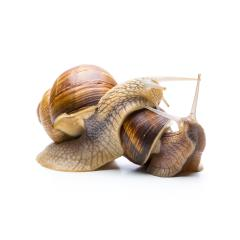 snails in love : Stock Photo or Stock Video Download rcfotostock photos, images and assets rcfotostock | RC-Photo-Stock.: