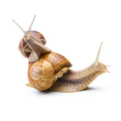 Snails Piggy-Backing- Stock Photo or Stock Video of rcfotostock | RC-Photo-Stock