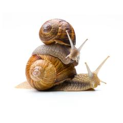 Snails Piggybacking- Stock Photo or Stock Video of rcfotostock | RC-Photo-Stock