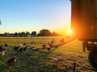 species appropriate husbandry chicken on beautiful land : Stock Photo or Stock Video Download rcfotostock photos, images and assets rcfotostock | RC-Photo-Stock.: