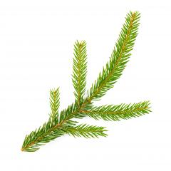 spruce fir on white background- Stock Photo or Stock Video of rcfotostock | RC-Photo-Stock