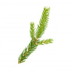 spruce fir tree branch isolated on white background- Stock Photo or Stock Video of rcfotostock | RC-Photo-Stock