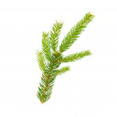 spruce fir tree branch on white background : Stock Photo or Stock Video Download rcfotostock photos, images and assets rcfotostock | RC-Photo-Stock.: