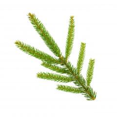 spruce tree branch isolated on white background- Stock Photo or Stock Video of rcfotostock | RC-Photo-Stock