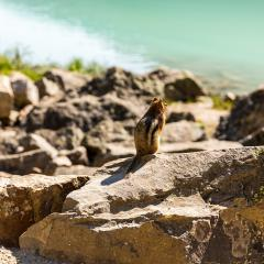 squirrel sitting on a rock at Lake Louise in summer banff canada : Stock Photo or Stock Video Download rcfotostock photos, images and assets rcfotostock | RC-Photo-Stock.:
