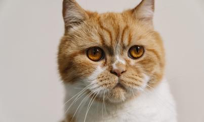 striped grumpy cat with orange eyes looks- Stock Photo or Stock Video of rcfotostock | RC-Photo-Stock