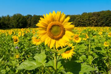 sun flowers field in germany- Stock Photo or Stock Video of rcfotostock | RC-Photo-Stock